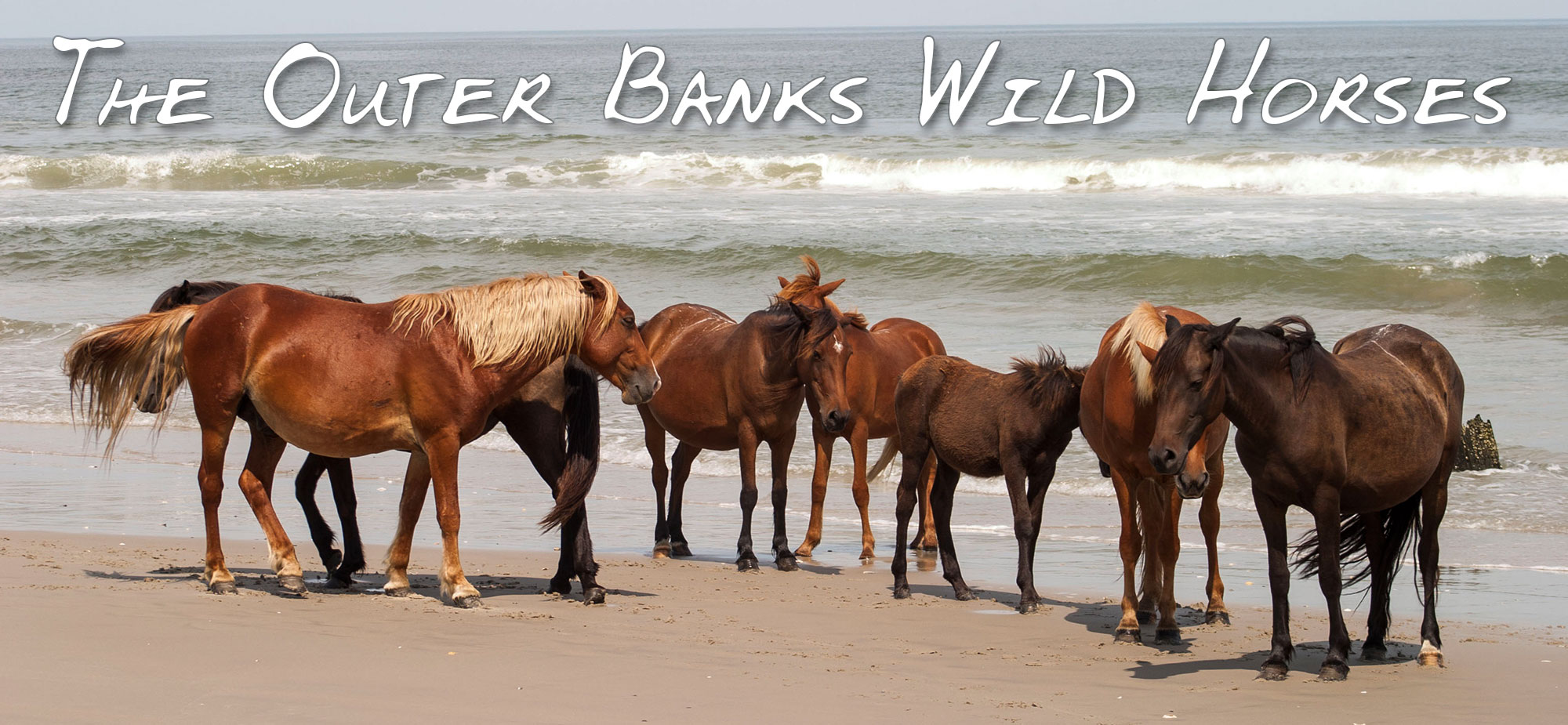 Outer Banks Wild Horses Of Corolla Nc